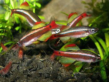 Рыбки соседи для креветок