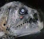 Новый вид рыб