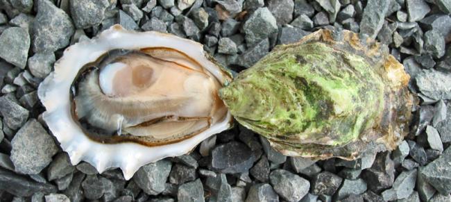 морские ушки фото