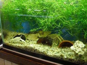 Наяс в аквариуме