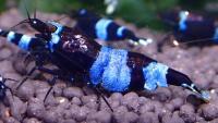 Blueline Panda