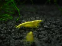 Yellow Fire shrimp