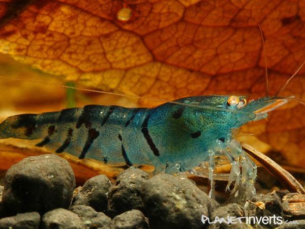 Голубая тигровая креветка
