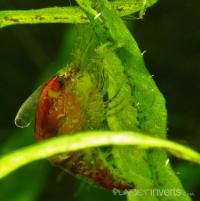 Линяющая креветка