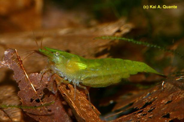 Зелёная креветка