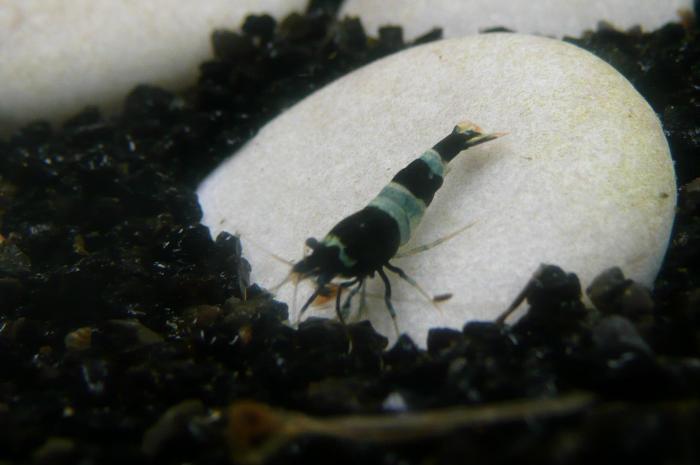 Taiwan Bee