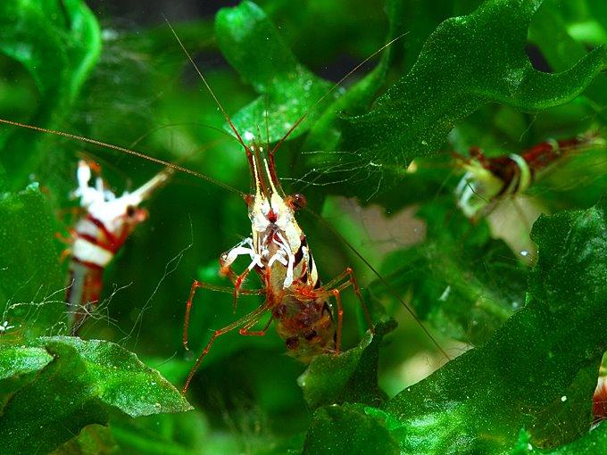 Креветки арлекины
