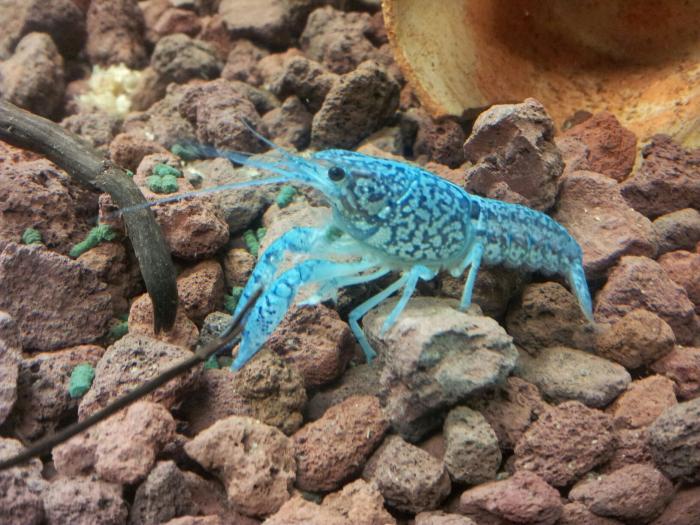 Procambarus fallax