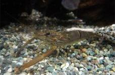 Japanese native freshwater prawn
