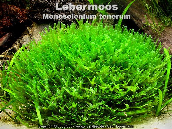 Мох Monoselenium