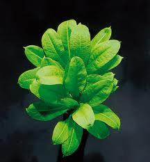 Echinodorus grisebachii parviflorus Tropica