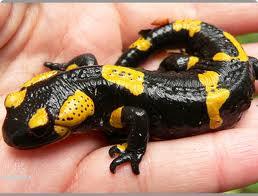 Содержание саламандр