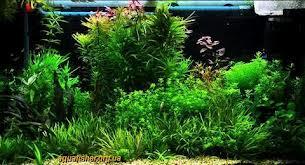 Растения в дизайне аквариума