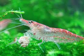 Кормление аквариумных креветок