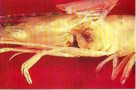 Микозы креветок