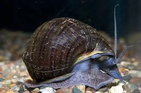 Black Mistery Snail