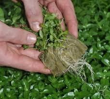 Минеральная вата на корнях растений