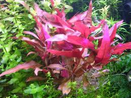 Alternanthera reineckii rosaefolia