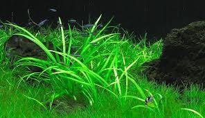 Echinodorus angustifolius