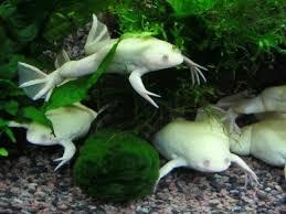 Аквариумные лягушки