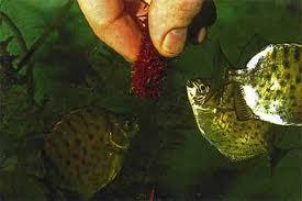Дождевые черви как корм для рыб