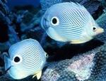 Ложные глаза у рыб