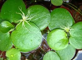 Limnobium stoloniferum