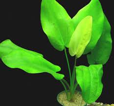 Echinodorus sellovianus