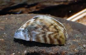 Моллюск дрейсена