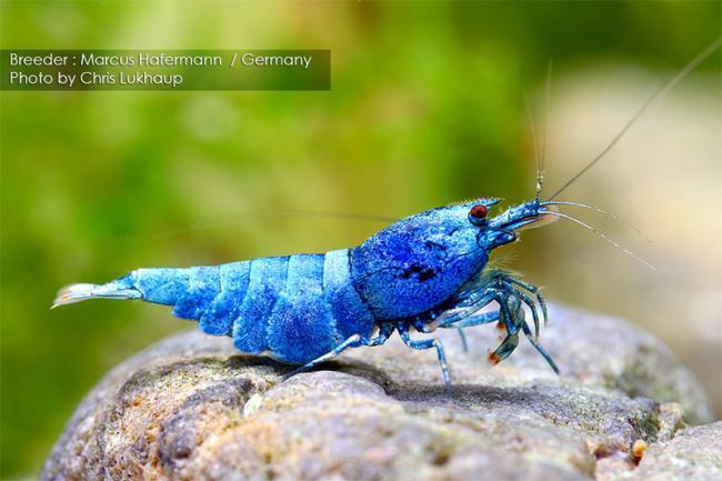 Caridina cf. cantonensis var. Blue Bolt