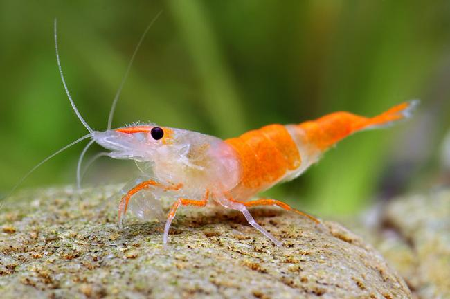 Neocaridina heteropoda var. Orange Rili